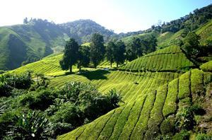 Cameron Highlands Tea Garden